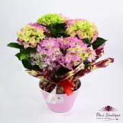 Hortensie la ghiveci - Pink Hydrangea