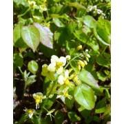 Elfenbloem Epimedium pinnatum colchicum