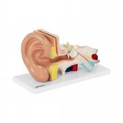 Maquette anatomique de l'oreille humaine - En 4 parties - 2 fois la taille réelle