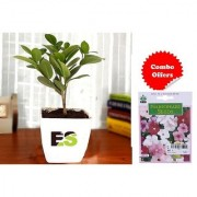 ES Ficus Green Plant with Decorative Freebie with Indica Hybrid Seeds
