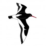 Birdlife International Speldje scholekster