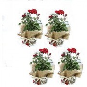 ES ROSE PLANT RED LIVE PLANT COMBO OF 4 PCS