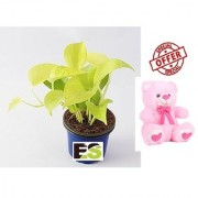 ES GOLDEN MONEY PLANT LIVE NATURAL WITH FREE COMBO GIFT - 6 TEDDYBEAR-PINK