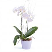 Interflora Planta de Phalaenopsis Premium - Flores a Domicilio