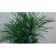 Pinus mugo Varela