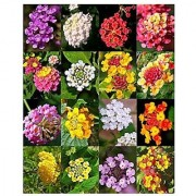 Flower Seeds : Verbena Butterfly Gardening Mix Flower Seed Flowering Plants For Basket (20 Packets) Garden Plant Seeds By Creative Farmer