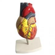 Phenovo Human Anatomy Heart Model Life Size - 2 Parts
