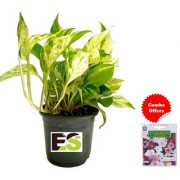 ES GREEN MONEY PLANT NATURAL with Indica Hybrid Seeds