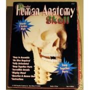 Paradise Human Anatomy Skull