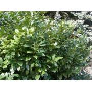 Sipka babérmeggy / Prunus laurocerasus 'Schipkaensis'