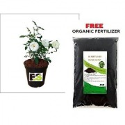 White Rose Plant with Freebie