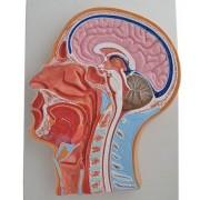 Głowa (połowa) przekrój - model