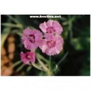 Dianthus deltoides 'Flashing liht' - Karafiát