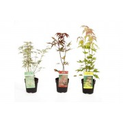 Acer Japanese Maple Acer Collection - 3 Varieties!
