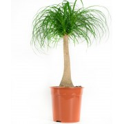 Plant Olifantspoot