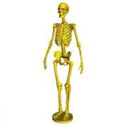 Human Skeleton Anatomy Model by Prototye