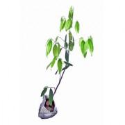 Raj Garden Plants Bay Leaf Tejpatta Spice Plant Live Plant Bay Leaves plant