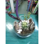 Sedum stahlii, Echinopsis și Tradescantia pallida (wandering jew)