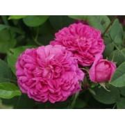 Trandafir Saschsengruss (Trandafir pentru dulceata) - 10 bucati