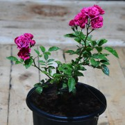 Miniature Pink Rose Live Plant