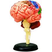 Human Brain Anatomy Model Build Your Own!