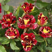 PuspitaNursery Live Rose Plant Five Deferent Color Variety Without Pot Including Climbing Rose Decoration for Indoor