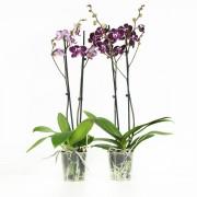 Orchidee Chien Xen Pearl Paars Wit Gespikkeld - 2 Stuks