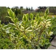 Ezüsttarka télizöld vagy széleslevelű fagyal / Ligustrum ovalifolium 'Argenteomarginatum'