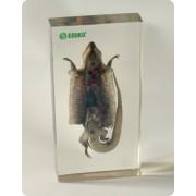 Anatomia gada - dysekcja jaszczurki (w pleksi)