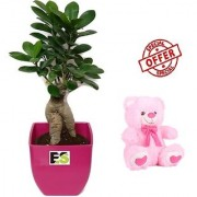 ES DECORATIVE 3 YEAR OLD GRAFTED INDOOR LIVE BONSAI ADENIUM PLANT WITH FREE COMBO GIFT - 6 TEDDYBEAR-PINK
