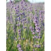 Lavender - Margaret Roberts