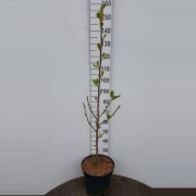 Plantenwinkel.nl Magnolia struik Daybreak - 150 - 175 cm - 2 stuks