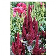 Flower Seeds : Amaranthus Burgundy Red / Dark Green Foliage For Container Flower Seed Packets Garden Flowers Seeds For Balcony (9 Packets) Garden Plant Seeds By Creative Farmer