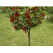 Coacaz Rondom (tulpina inalta - la ghiveci)