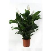 Spathiphyllum Lauretta (lepelplant)