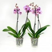 Orchidee Sacramento (per 2 stuks)