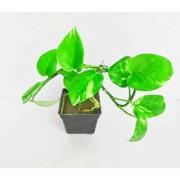 Raj Garden Plants Money Plant Dhanlaxmi Plant Golden Pothos Scindapsus Aures Plant