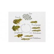 Learning Resources Magnetischer Lebenszyklus Frosch