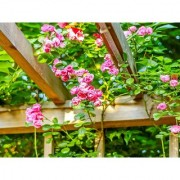 PuspitaNursery Rare Climbing Rose Living Perennial Plant Pink Color Best for Your Loving Space