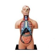 Learn about Human Anatomy - Torso Anatomy Model (Age 8+)