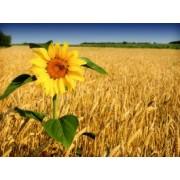 Tapet autocolant -Tapet floarea soarelui 1 - 150x200cm