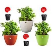 Jade Plant Combo 3 pcs with Freebie Pot