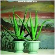 Aloe vera barbadensis miller - Aloe