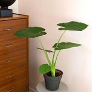 Interflora Alocasia