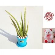 ES Aloe Vera Gift Plant WITH FREE COMBO GIFT - 6TEDDYBEAR