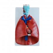 Narządy klatki piersiowej
