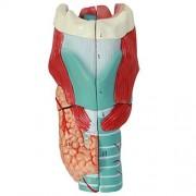 ZJKC Made of Washable Quality PVC Functional Human Larynx Model Magnified Human Larynx Anatomical Model - Medical Anatomy Skeleton Throat Model