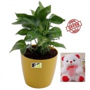 ES REJOICE ROUND MONEY PLANT LIVE NATURAL WITH FREE COMBO GIFT - 6 inchTEDDYBEAR