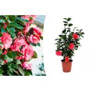 VakantieVeilingen.be Japanse roos met rode bloemen (60 - 65 cm)