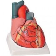 modello anatomico cuore - ingrandimento 3x - colorato - 4 parti